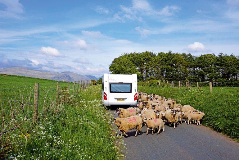 Noord-Engeland_schapen