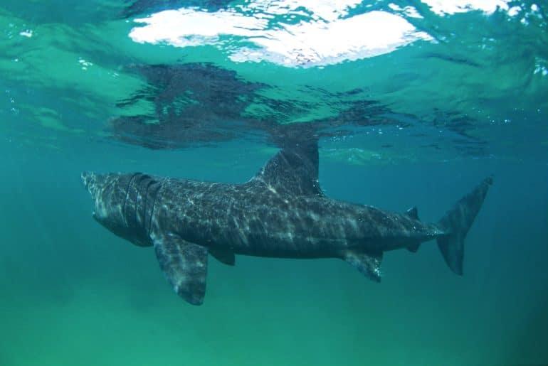 Reuzenhaaien in de Noordzee