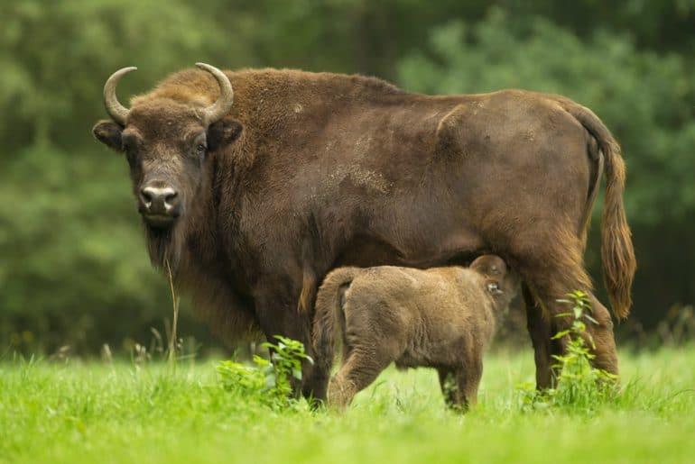 De Europese bizon